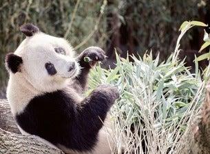 Pandaerne i Zoo efter lukketid